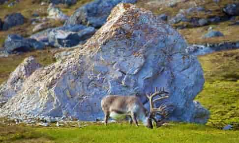 Svalbard – ishavets vildmark - Risskov Rejser
