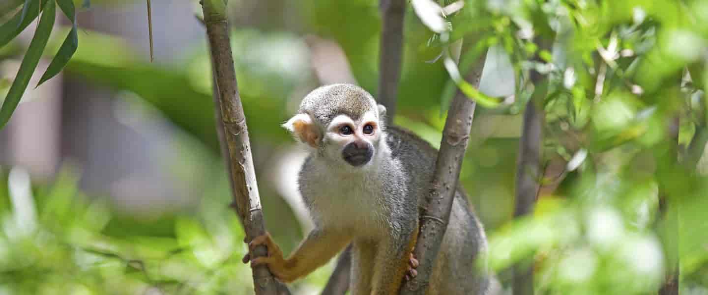 Squirrel Monkey - Risskov Rejser