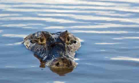 Alligator i Amazonas - Risskov Rejser
