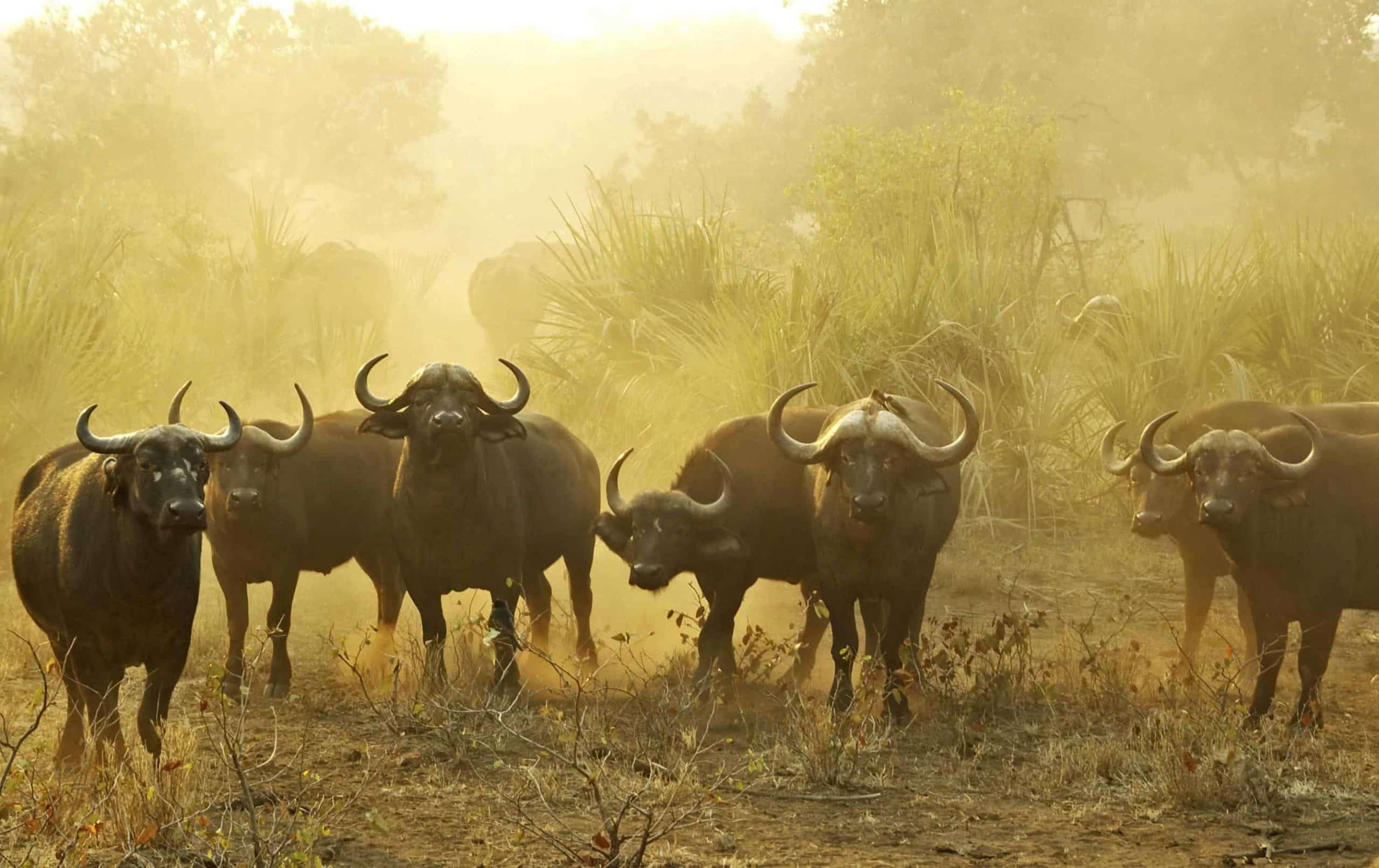 Bøfler i Kruger National Park i Sydafrika