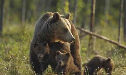 Bjørnefamilie i Canada - Risskov Rejser