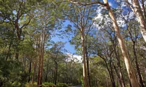 Boranup Karri Forest - Risskov Rejser