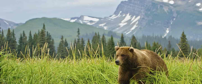 Brun bjørn, Canada