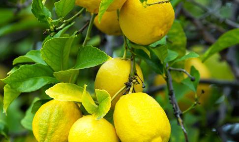 Citroner Italien