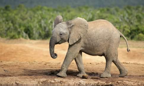 En lille elefantunge - Sydafrika - Risskov Rejser