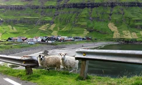 Får ved vejen på Færøerne - Risskov Rejser