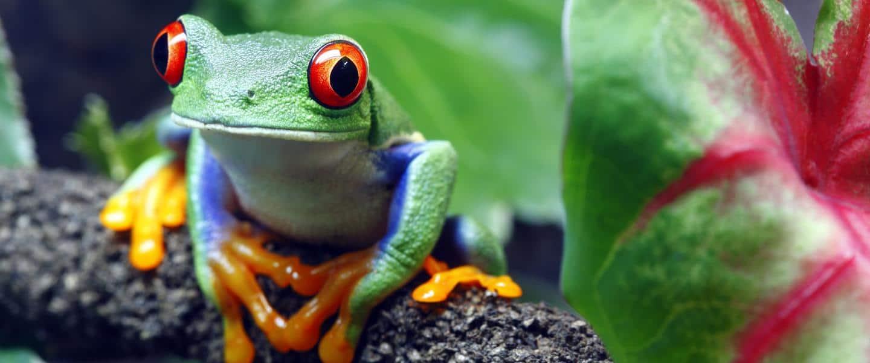 En farverig rød-øjet træ frø - Costa Rica - Risskov Rejser