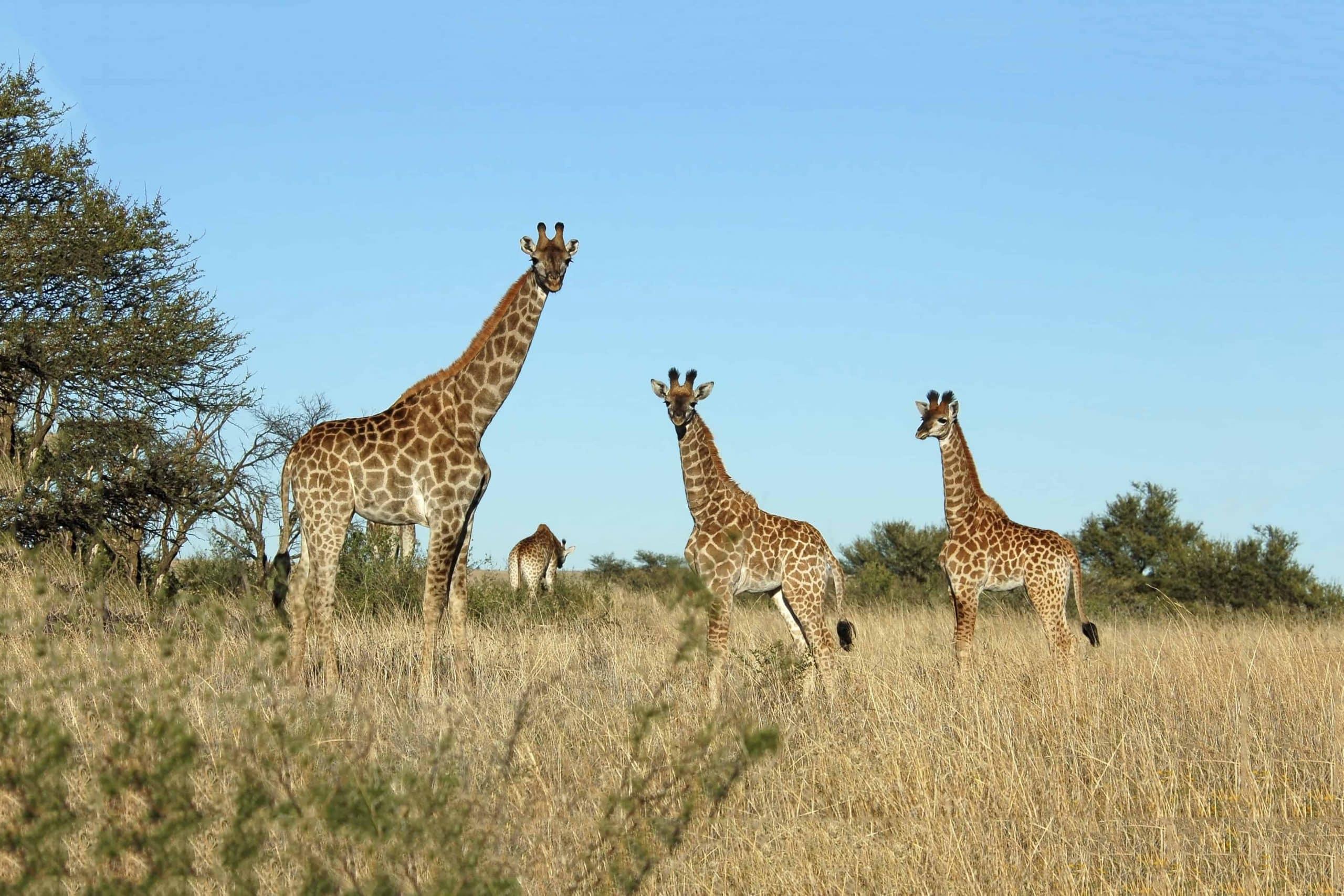 En giraf familie i Sydafrika - Risskov Rejser
