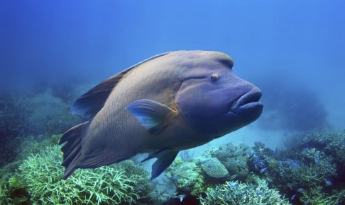 Humphead maori wrasse napoleonfisk