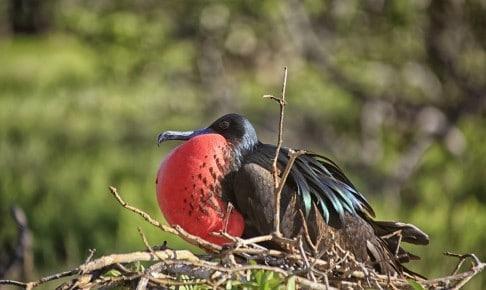 Great Frigate fugl - Galapagos - Risskov Rejser