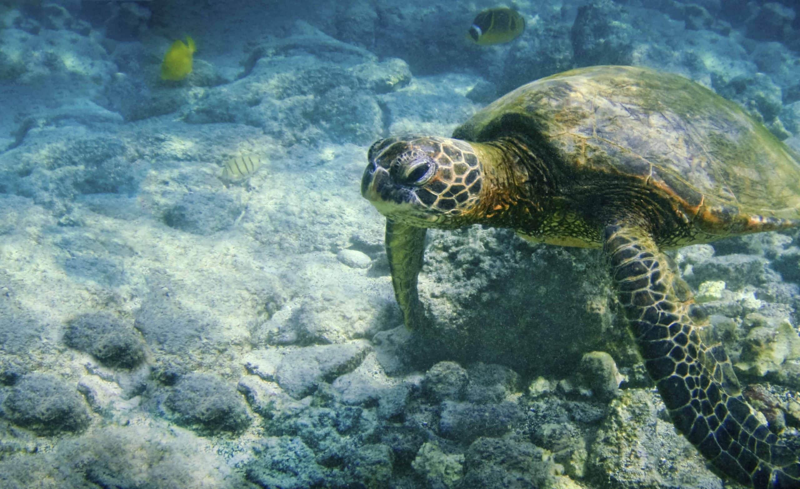 Grøn søskelpadde i Hawaii - Risskov Rejser