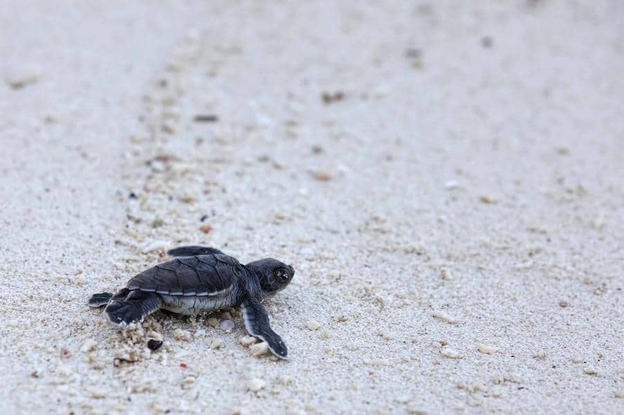 Havskildpadde gør sine første skridt - Borneo - Risskov Rejser