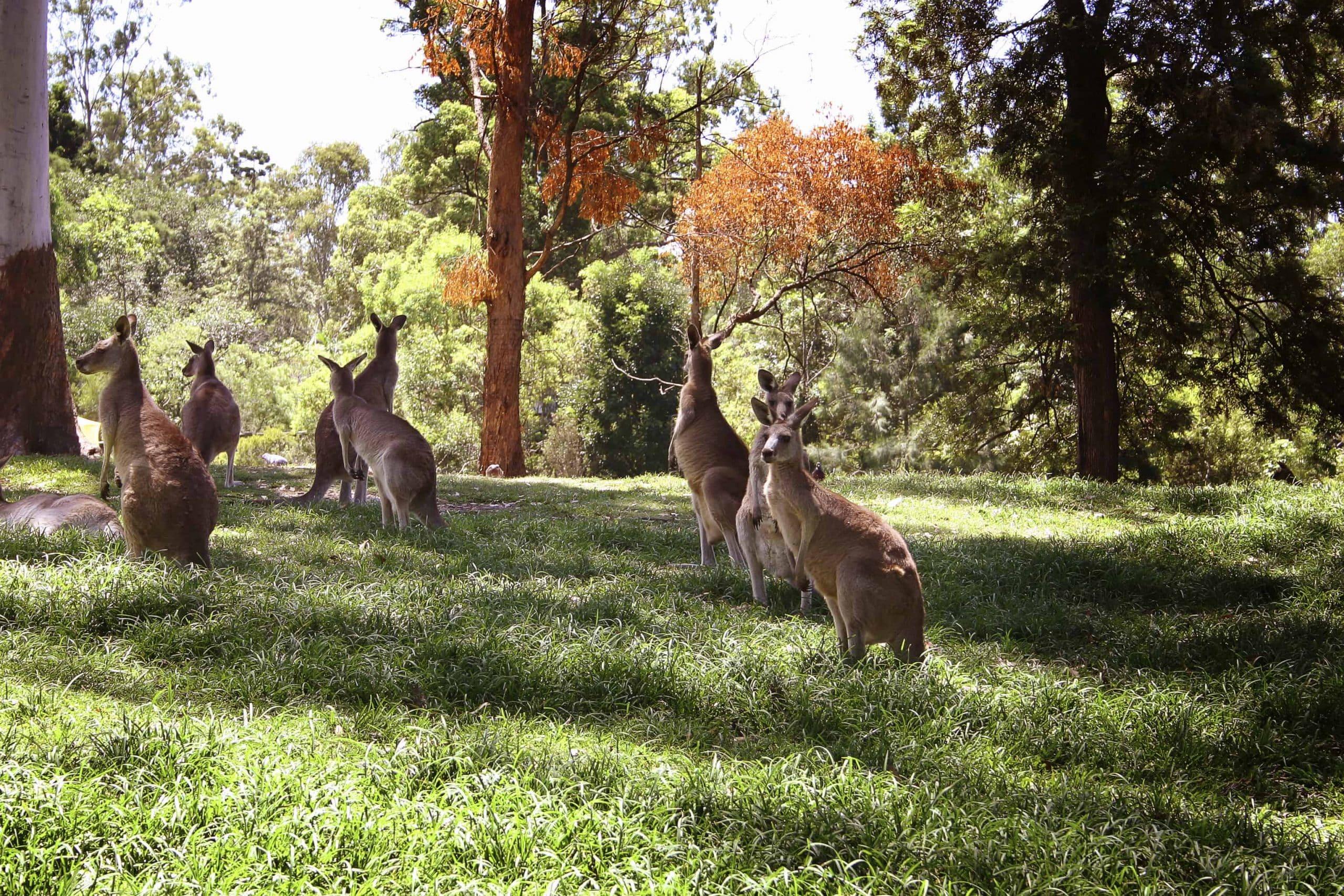 Se kænguruer i Badgingarra National Park - Risskov Rejser