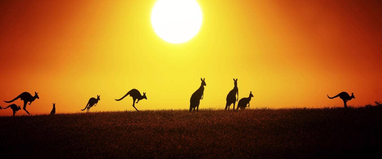 Kænguruer ved solnedgang i Australien