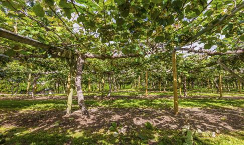 Kiwiplantage ved Te Puke - Risskov Rejser