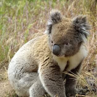 Mød koalaer i østkystens nationalparker