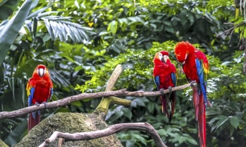 Macaw papegøjer - Peru - Risskov Rejser