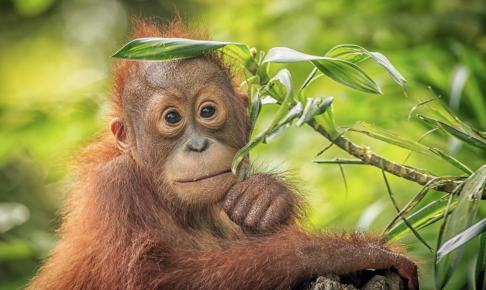Baby orangutang - Borneo - Risskov Rejser