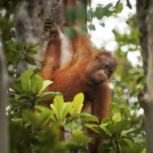 Baby Orangutang i Borneos trækroner