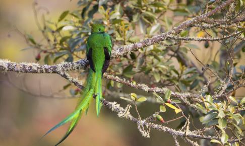 Quetzal i Costa Rica - Risskov Rejser