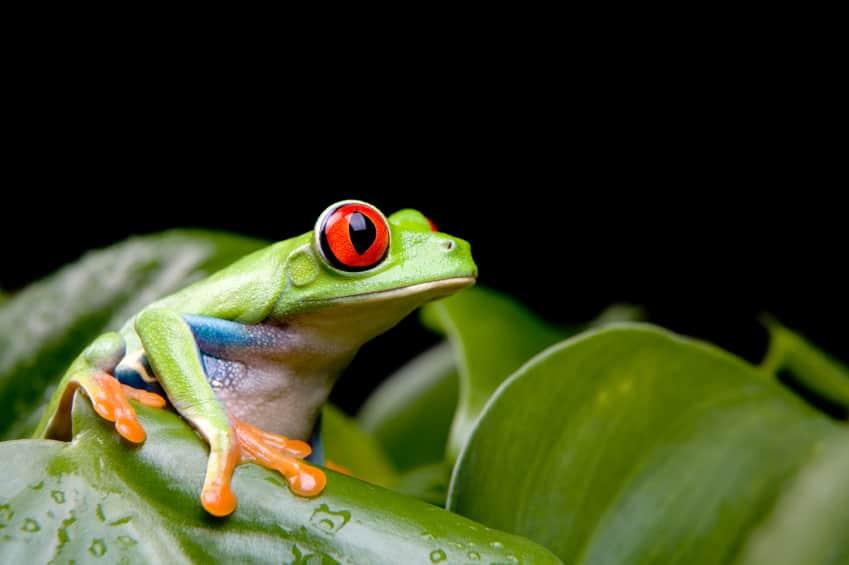 Se om du kan spotte en rød-øjet løvfrø, når du rejser til Costa Rica.