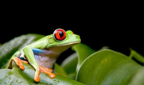 Rød-øjet frø Costa Rica