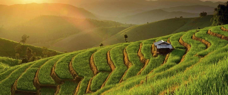 Risterrasser i Ban Papongpieng Chiangmai - Risskov Rejser