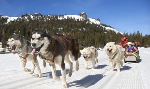 Siberian Husky hundeslæde - Siberian - Risskov Rejser