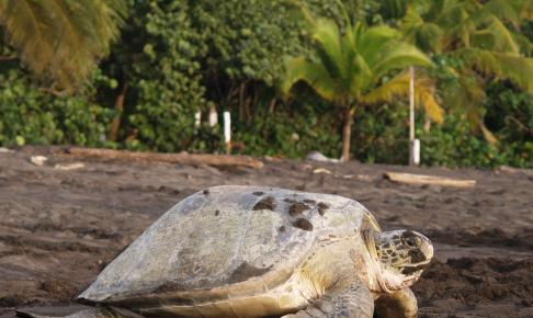 Havskildpadden ved Tortuguero National Park, Costa Rica - Risskov Rejser