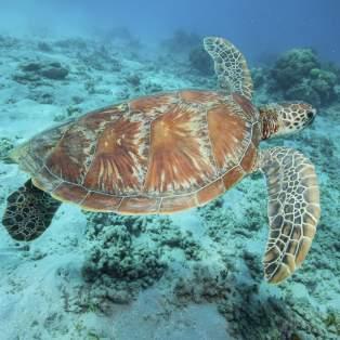 Green turtle, ved Great Barrier Reef