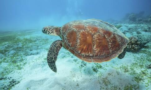 Havskildpadde under vandet - Risskov Rejser