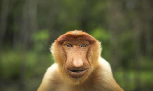 Borneos hyggeligt udseende næseabe - Risskov Rejser