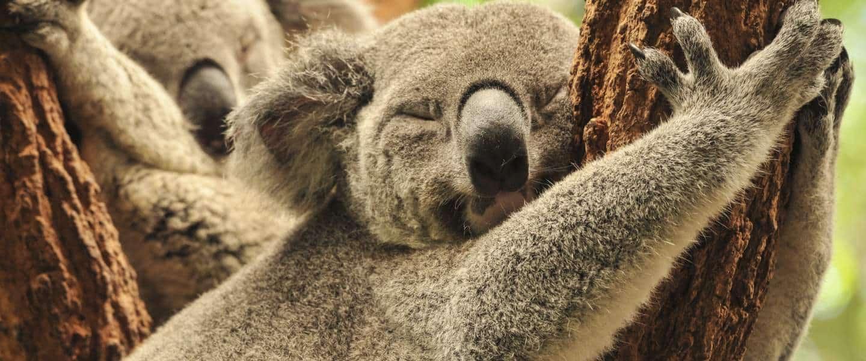 Koalabjørn, Australien
