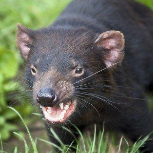 Tasmansk djævel