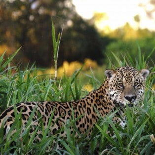 Jaguaren er Costa Ricas største rov dyr, men du er heldig hvis du støder på den, når du rejer til Costa Rica