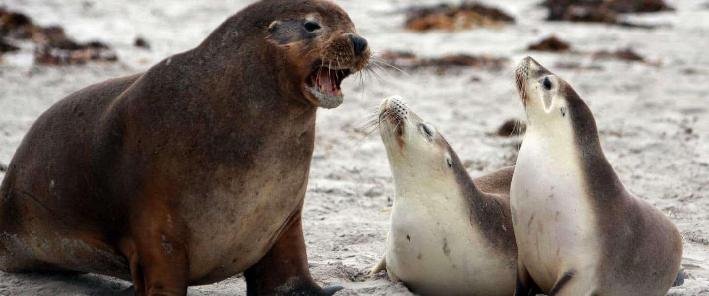 Dyreliv på Kangaroo Island - Risskov Rejser