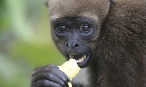 Bakket abe i Amazonas regnskov