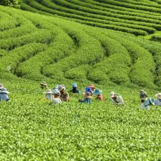 Tea plantations in Thailand - Risskov Rejser