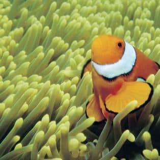 Orange fisk i koraler - Australien - Risskov Rejser