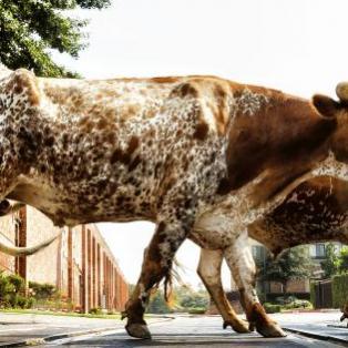 En gruppe af Texas' langhornet tyre - Risskov Rejser