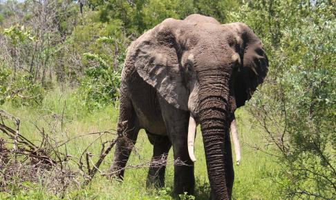 Elefant i Kruger National Park - Risskov Rejser