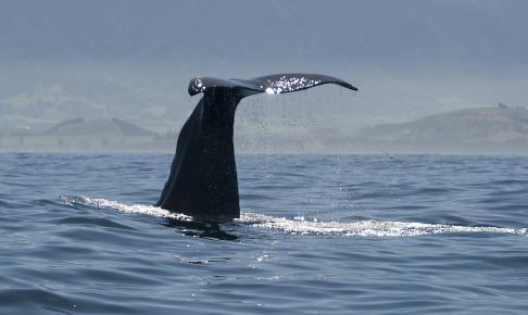 Hval ved Kaikoura hvor der er flere whale watching-udflugter - Risskov Rejser