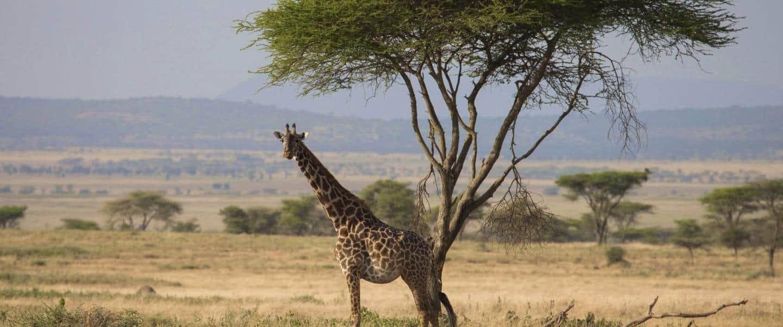 Giraf i Kruger National Park - Risskov Rejser