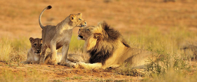Løvefamilie i eventyrlige Sydafrika - Risskov Rejser