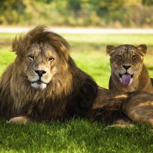 Løver i Kruger National Park - Afrika - Risskov Rejser