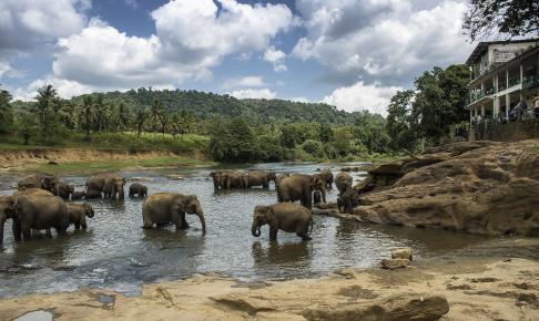 Elefanter ved Pinnawala, Sri Lanka - Risskov Rejser