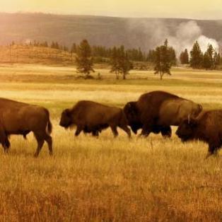 Solopgang med bøfler i Yellowstone - Risskov Rejser