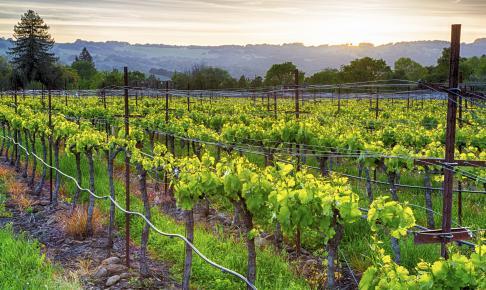 Solnedgang over vinmarker i Sonoma - Risskov Rejser