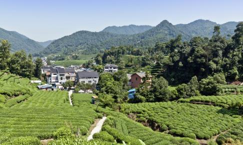 Teplantage ved Hangzhou