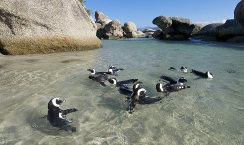 Pingvinkoloni ved Boulder Beach